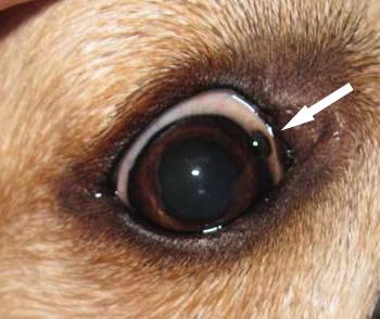 Yellow Green Dog Eye Discharge
